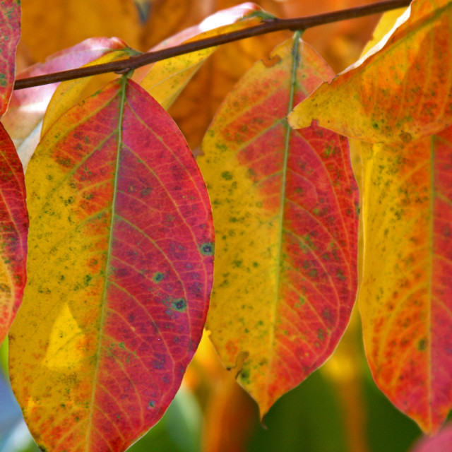 """""""Crêpe myrtle, fall coloration"""" stock image"""