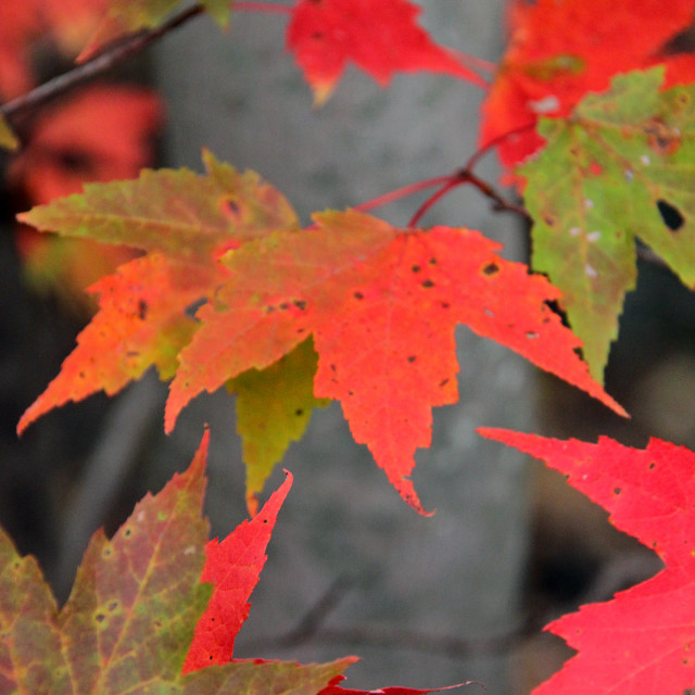 """""""Red Maple leaves, fall coloration,"""" stock image"""