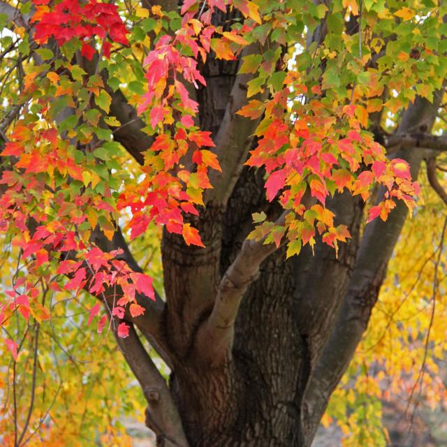 """Red maple, Forest lawn cemetery, Greensboro North Carolina"" stock image"