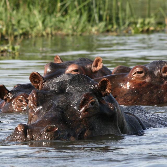 """Hippos, Nile river"" stock image"