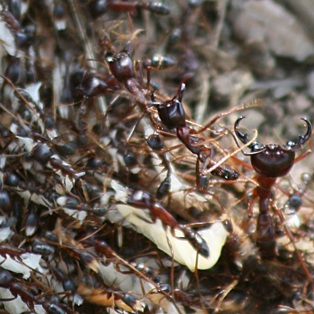 """""""Ants from hell, Uganda, Africa"""" stock image"""