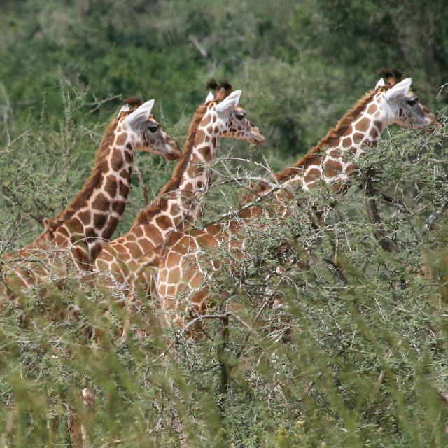 """Giraffes, Uganda, Africa"" stock image"