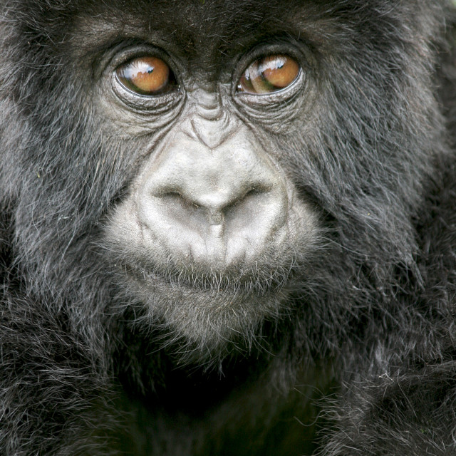"""Baby gorilla, Rwanda, Africa"" stock image"