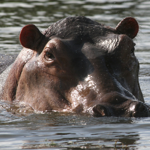 """""""Hippo, Nile river, Africa"""" stock image"""