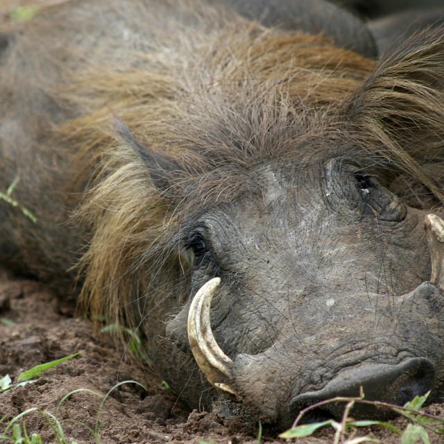 """Warthog, Uganda, Africa"" stock image"