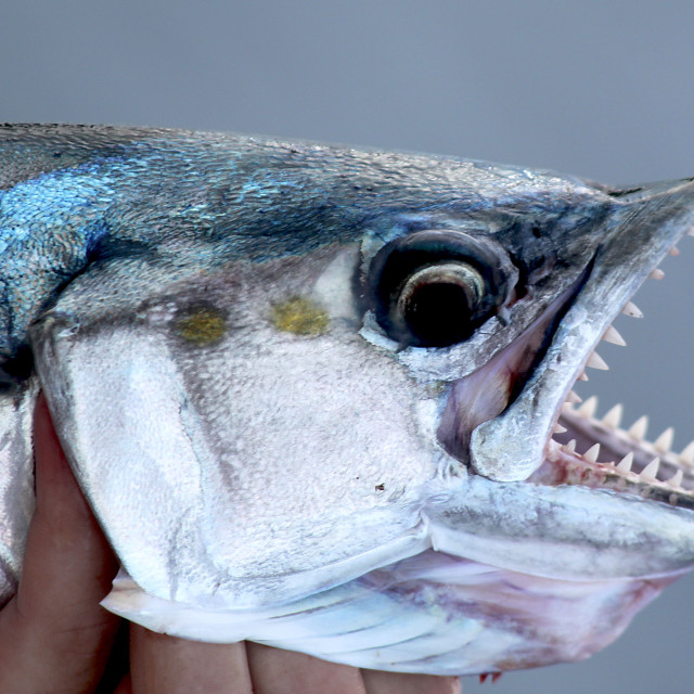 """""""Spanish mackerel , Riviera Maye, Mexico"""" stock image"""