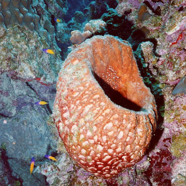 """Vase sponge, Cayman wall, Grand Cayman Island"" stock image"