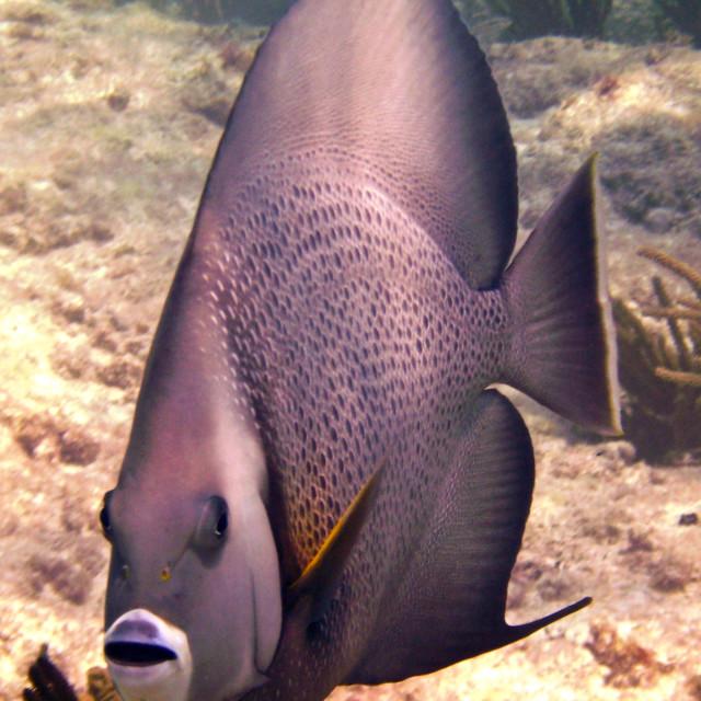 """French angel fish, riviera Maye, Mexico"" stock image"