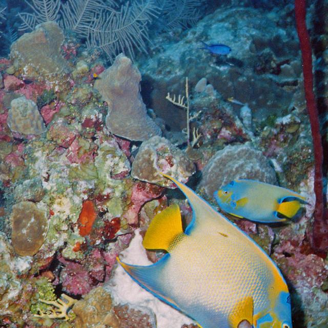 """Queen Angelfish, Cayman wall, Grand Cayman Island"" stock image"