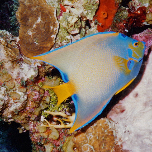 """""""Queen angel fish, Cayman wall, Cayman Islands"""" stock image"""