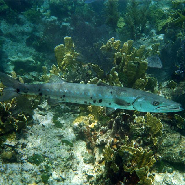 """""""Barracuda,Key Largo Florida"""" stock image"""