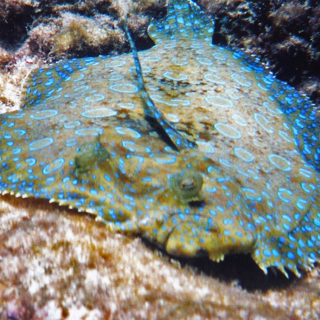 """Flounder,Grand Cayman Island"" stock image"