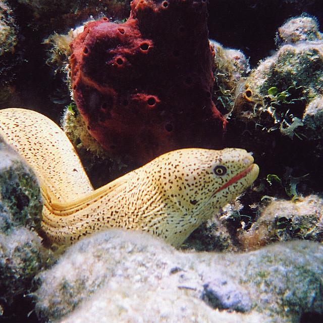 """Moray eel ,Turks and Caicos's"" stock image"