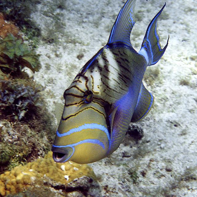 """Queen triggerfish,Riviera Maya, Mexico"" stock image"