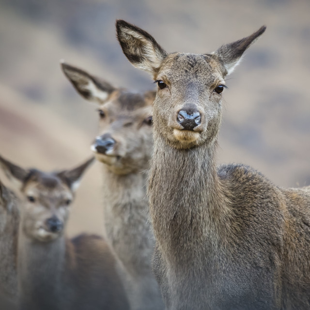 """""""A herd of Reindeer"""" stock image"""