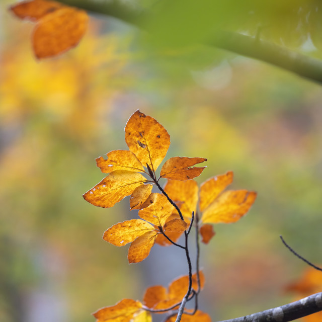 """Autumn beech leaves, decorate a beautiful nature background"" stock image"