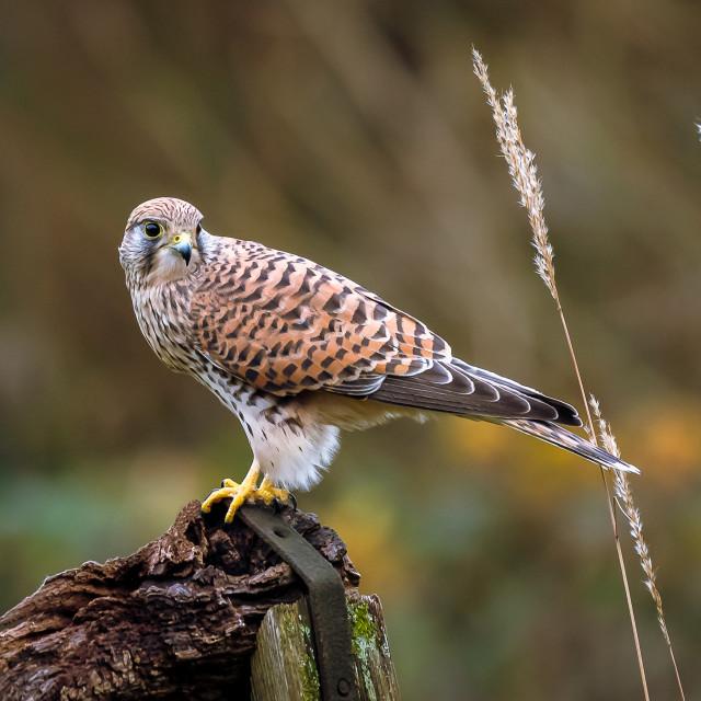 """Female Kestrel perching"" stock image"