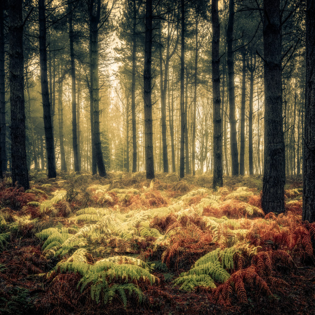 """Ferns and Pines, Wheldrake Wood"" stock image"