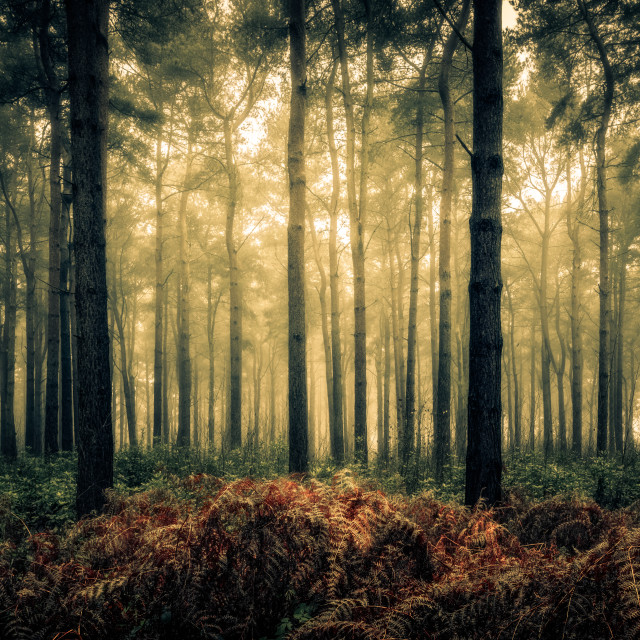 """Pines and Ferns, Wheldrake Wood"" stock image"