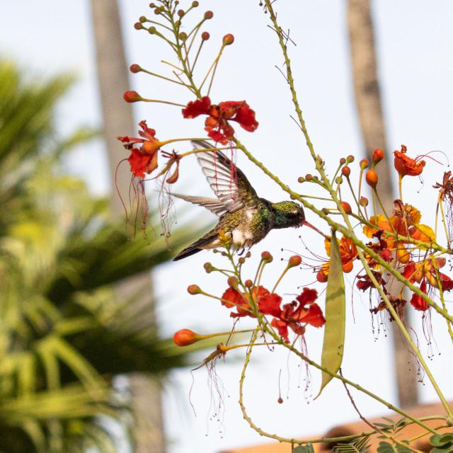 """Hummingbird in action"" stock image"
