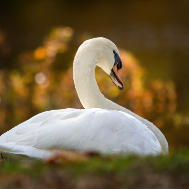 """""""Swan in Plymouth"""" stock image"""