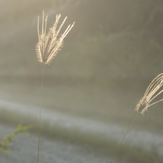 """""""the fingergrass glow at the countryside."""" stock image"""