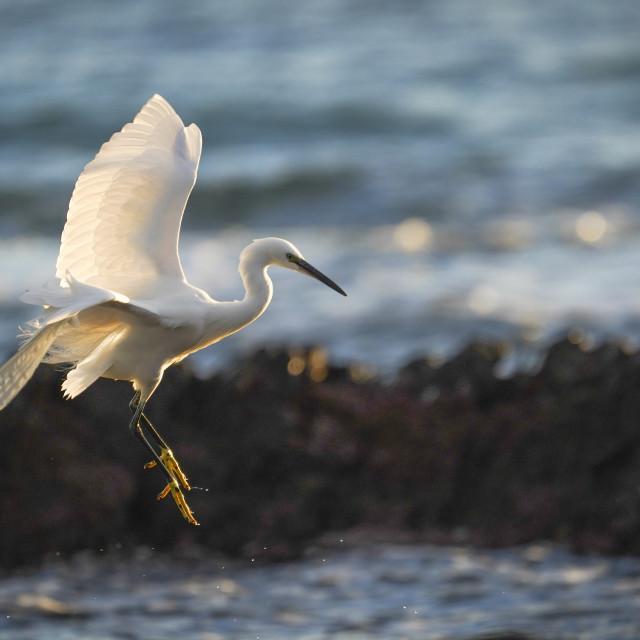 """""""Little egret, Egretta garzetta in flight, Spain."""" stock image"""