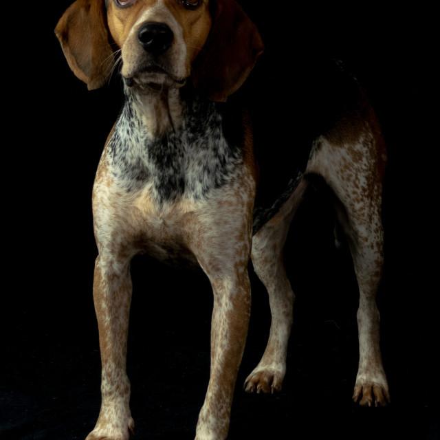 """Dog standing"" stock image"