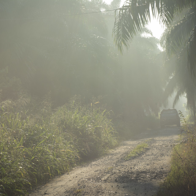 """""""foggy morning in the plantation."""" stock image"""