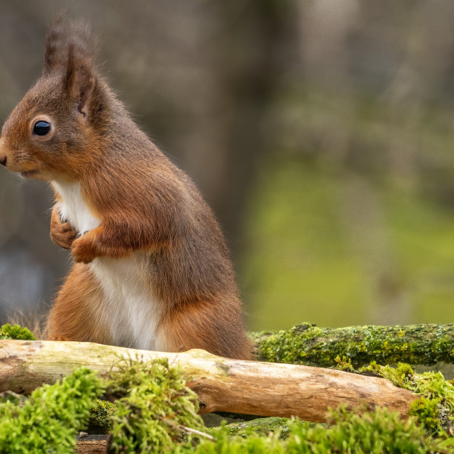 """Red Squirrel."" stock image"