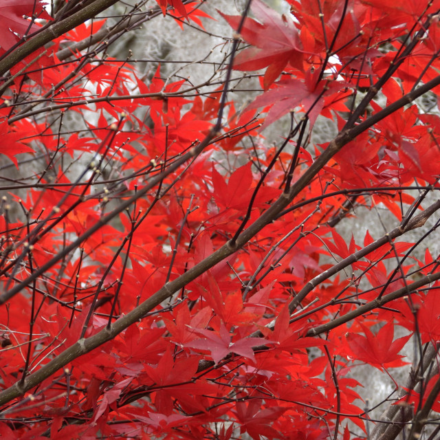 """""""Blazing Red Autumn Leaves"""" stock image"""