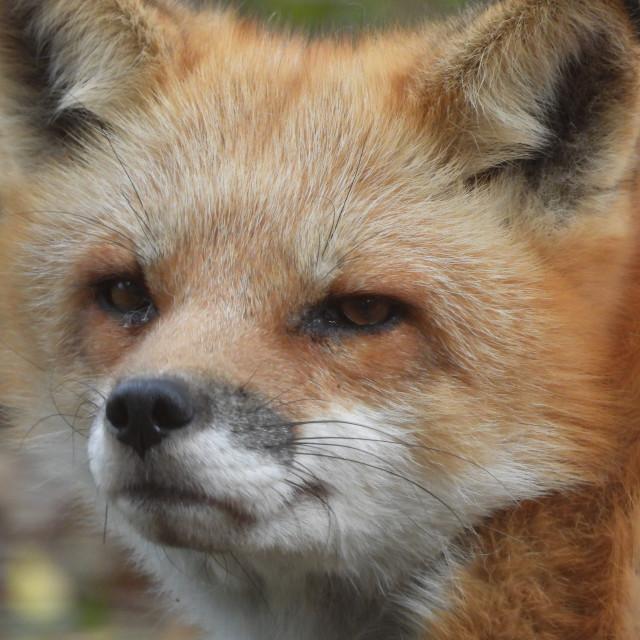 """Red Fox Closeup"" stock image"