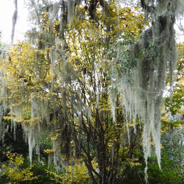 """Moss-Draped Yellow-leaved Tree"" stock image"