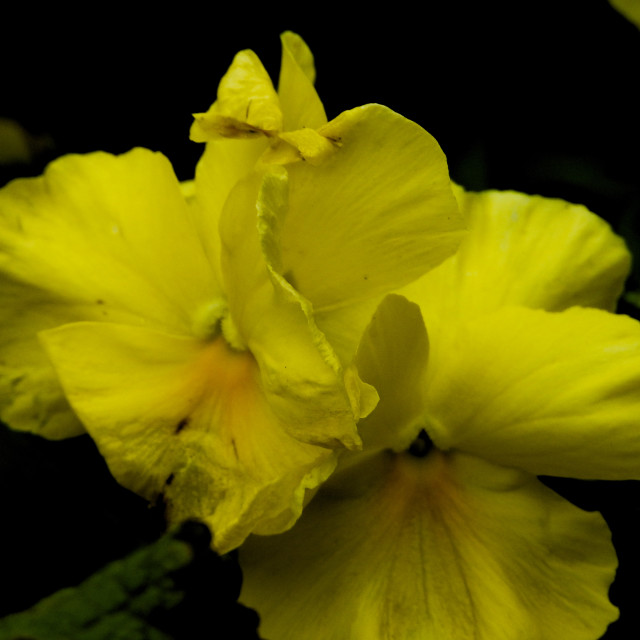 """Yellow Pansy Trio"" stock image"