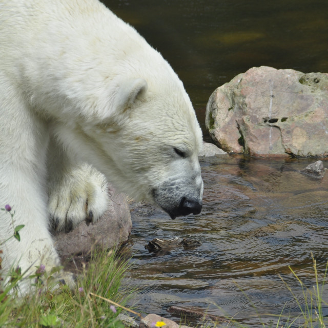 """Polar bear drinking"" stock image"
