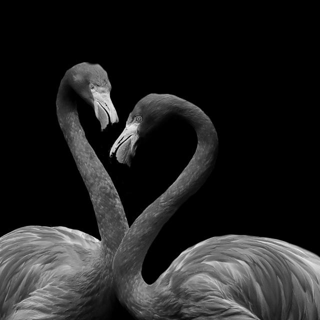 """Flamingo"" stock image"