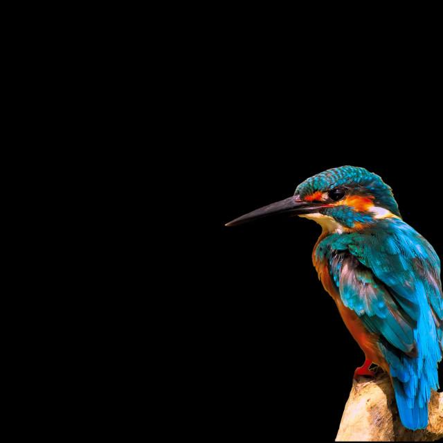 """Common kingfisher"" stock image"