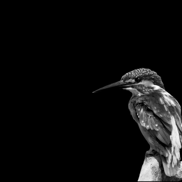 """Common kingfisher b&w"" stock image"