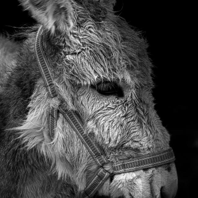 """""""donkey b&w"""" stock image"""