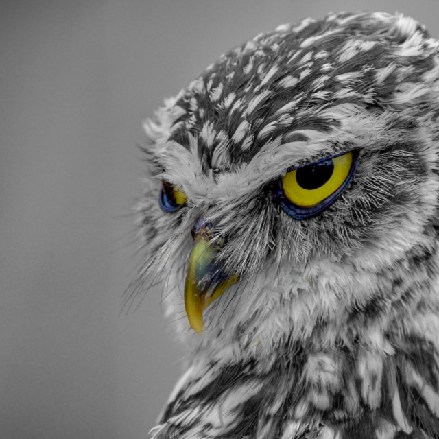 """""""A Little owl"""" stock image"""