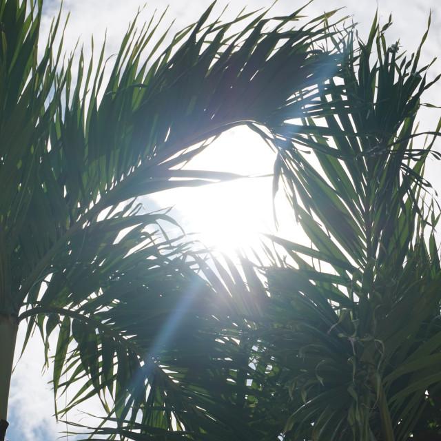"""Sunshine through the Palms"" stock image"