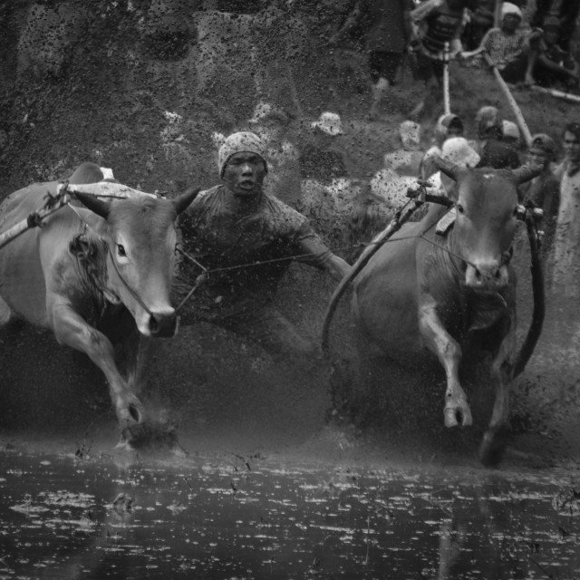 """""""Cow race West Sumatra"""" stock image"""