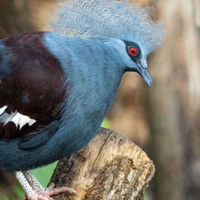 """Curious portrait of Western crowned pigeon, known also as Sclater's crowned pigeon (Goura cristata)"" stock image"