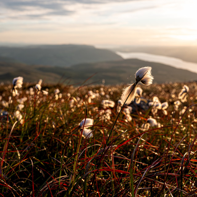 """Bog Cotton high above Loch Ness"" stock image"