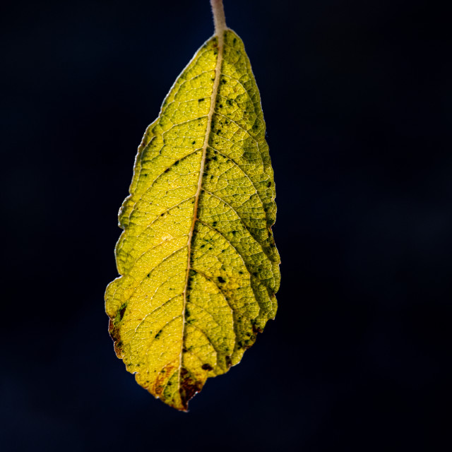 """A silver birch leaf hanging by slender piece of spider silk"" stock image"