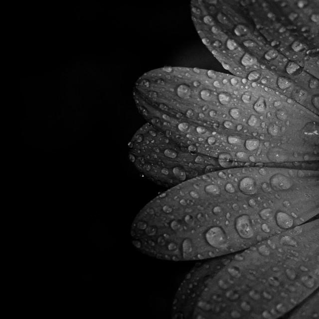 """""""Flower in black white"""" stock image"""