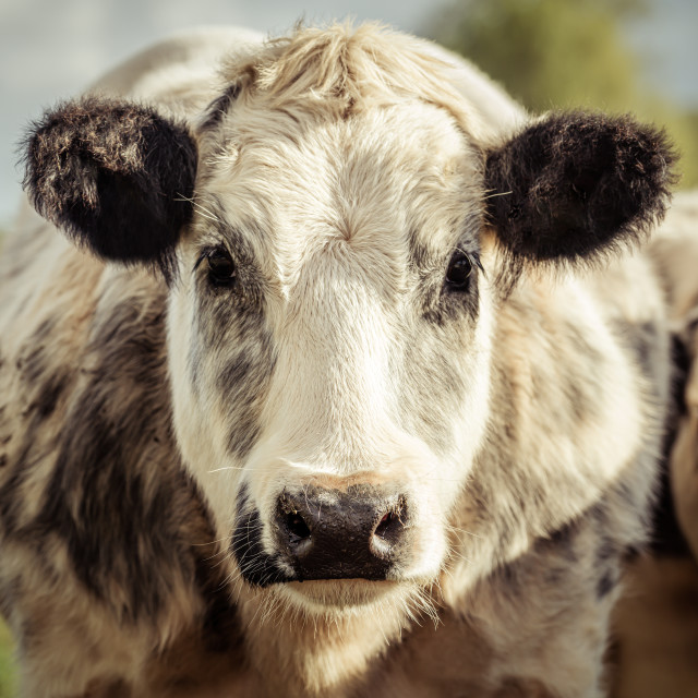 """""""Grey and white dairy cow"""" stock image"""