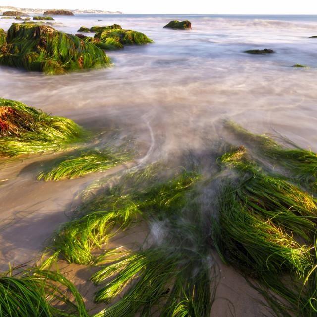 """Sea grass in Southern California"" stock image"