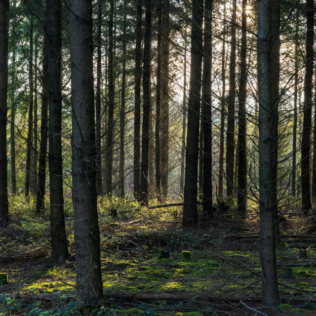 """""""Pine plantation in Todham Rough near Midhurst, West Sussex, back"""" stock image"""