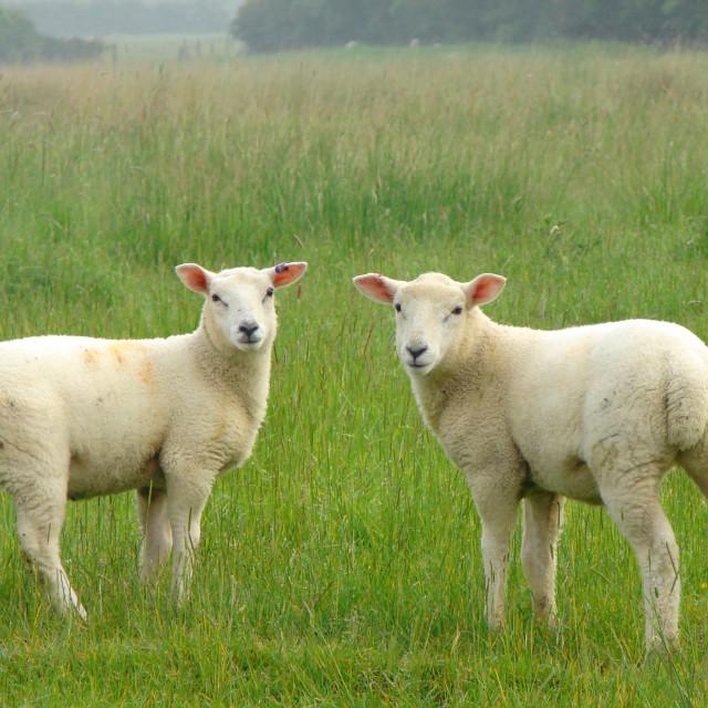 """Pair of Lambs posing symmetrically"" stock image"